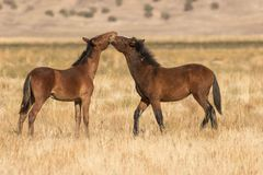 Mare and Foal Wild Horses Royalty Free Stock Images