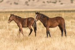 Mare and Foal Wild Horses in Utah Stock Photography