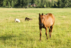 Mare and foals. A mare and two foals in a pasture in Wyoming. Log cabin in the background Stock Photo
