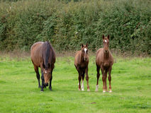 Mare and Foals Royalty Free Stock Photography