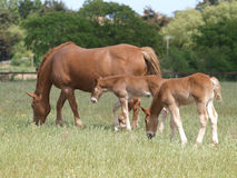 Mare with Foals Stock Images