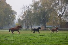 Running herd of horses in autumnal landscape. Mare with foals runs past the pasture in a misty morning, running herd of horses in autumnal landscape, english Stock Image