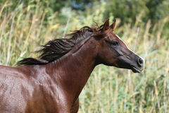 Mare galloping  in a meadow summertime Stock Photography