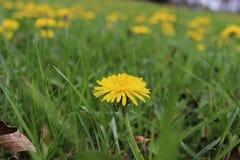 Mare giallo del fiore del dente di leone Fotografia Stock