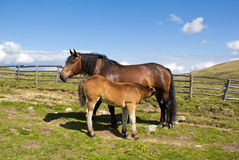Mare Giving Milk To Foal royalty free stock photos