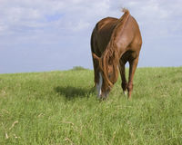 Mare grazing. Chestnut colored mare grazing in a pasture royalty free stock images