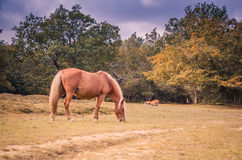 Mare grazing Stock Photos