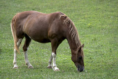 Mare grazing Royalty Free Stock Photos