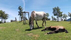 Mare grazing grass while her foal rests and sunbathes