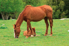 Mare grazing with her foal Stock Image