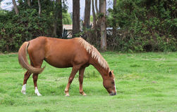 Mare Grazing in Pasture Royalty Free Stock Photography