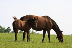 Mare and Her Colt. Cute Colt and Mare on a Horse Farm Royalty Free Stock Photography