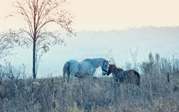 Mare with her colt. Love between mare and her colt early morning nearby Stanca village, Iasi, Romania royalty free stock photography