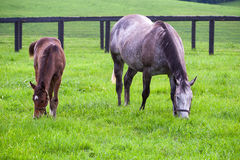 Mare with her colt on pastures of horse farms. Royalty Free Stock Images