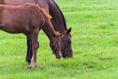 Mare with her colt on pastures of horse farms. Stock Photography