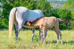 Mare and her cutie foal close together Royalty Free Stock Image