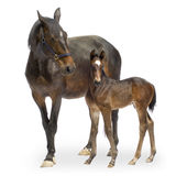 Mare with her Foal (12 days). Shot of a Mare with her Foal (12 days) in front of a white background royalty free stock images