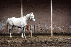 Mare with her foal royalty free stock image
