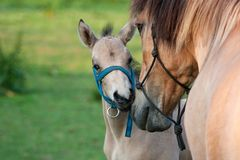 Mare and her foal Royalty Free Stock Photography