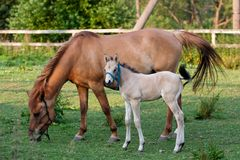 Mare and her foal Royalty Free Stock Photos