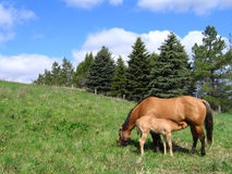 Mare and her foal. Dun quarter horse mare and her foal Royalty Free Stock Photo