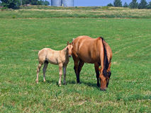 Mare and her foal. Dun quarter horse mare and her foal Royalty Free Stock Photos