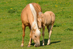 Mare and her foal. Close by mother as possible Stock Images