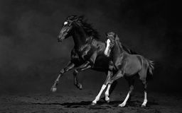 Mare and her foal, black-and-white photo. Galloping mare with foal on dark background Royalty Free Stock Photo