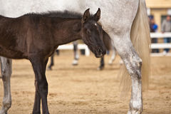 Mare with her foal in a contest of horses of pure Spanish race Royalty Free Stock Photo
