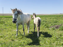 Mare with her foal in the field Stock Image