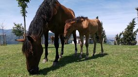 Mare and her foal grazing in the meadow