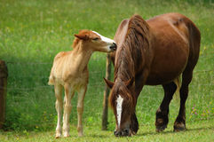 Mare with her foal. Grazing in the field Stock Images