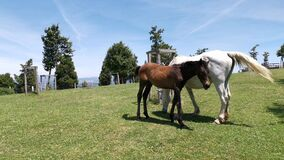 Mare and her foal grazing grass in the meadow