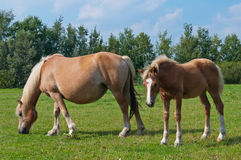 Mare and her foal grazing in a meadow Stock Photo