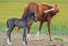 Mare and Her Foal. A mare grazing in the pasture with her foal Royalty Free Stock Photography