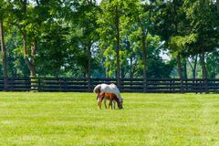 Mare with her foal at horse farm Royalty Free Stock Image