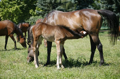 Mare and her foal in meadow Royalty Free Stock Image