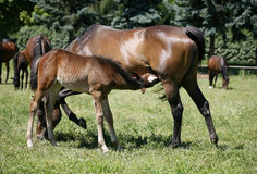 Mare and her foal in meadow Stock Photography