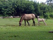 A mare and her foal. A mother horse with her young foal grazing in a field stock photos