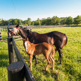 Mare with her foal in pastures of horse farms. Royalty Free Stock Image