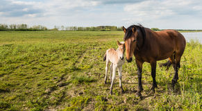 Mare and her foal posing for the portrait Royalty Free Stock Photography