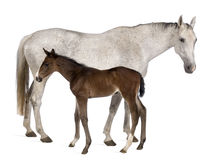 Mare and her foal, standing royalty free stock photo