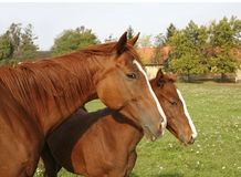 Mare and her foal standing on pasture against green natural back Stock Photos