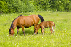 Mare and her foal on a summer pasture. Royalty Free Stock Photos