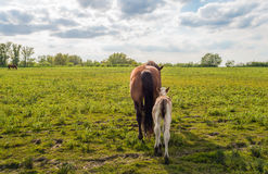 Mare and her foal walking away in a  nature reserve Stock Photos
