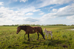 Mare and her foal walking in the grass Royalty Free Stock Images