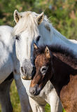 Mare with her foal. White Camargue horse. Parc Regional de Camargue. France. Royalty Free Stock Image