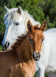 Mare with her foal. White Camargue horse. Parc Regional de Camargue. France. Stock Images