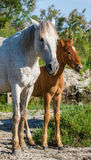 Mare with her foal. White Camargue horse. Parc Regional de Camargue. France. Royalty Free Stock Photography