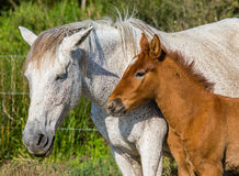 Mare with her foal. White Camargue horse. Parc Regional de Camargue. France. Provence. Stock Image